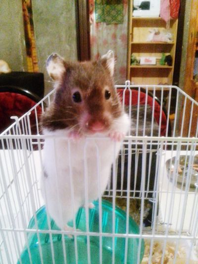 OpenEdit Hamster Cute Beautiful Pet Willy Mybaby Gift From My Boyfriend Christmas Gift Socute💕