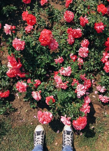 Top view of pink roses Summertime Pink Roses Plant Flower Flowering Plant Red Shoe Human Body Part High Angle View Day Low Section Standing Human Leg Freshness Pink Color Petal Fragility Beauty In Nature Nature Growth