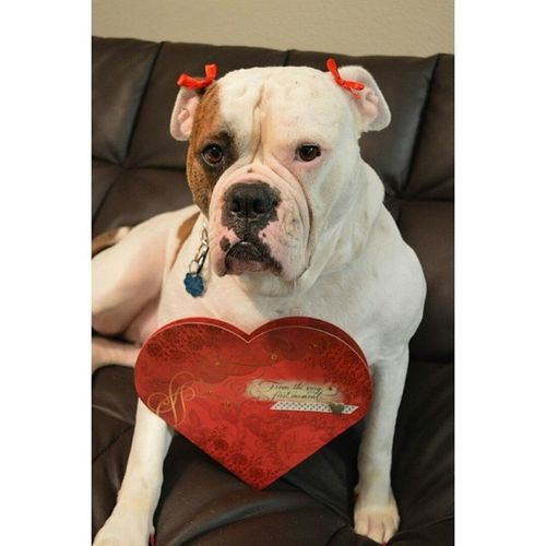 Baba the Love💘Bully for @yourhappydogs creative dog photo contest Yourhappydogscontest