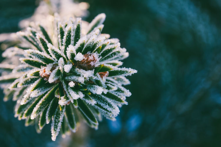 Winter macro photo spruce branch in ice crystals, with space for text
