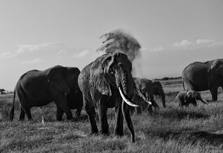 African elephants on field against sky at amboseli national park