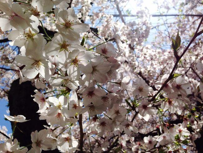 今年もきれいに咲いてくれました(^^) Cherry Blossoms Flower Collection