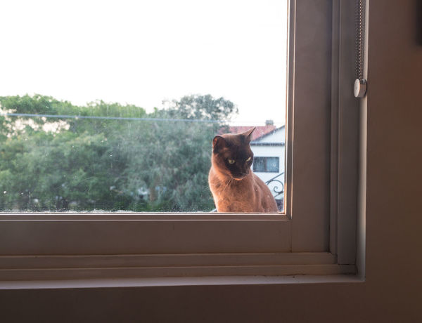 Burmese Burmeseigers Curiosity Domestic Animals Domestic Cat Domestica Domesticanimal Looking Through Window One Animal Outdoors Pets