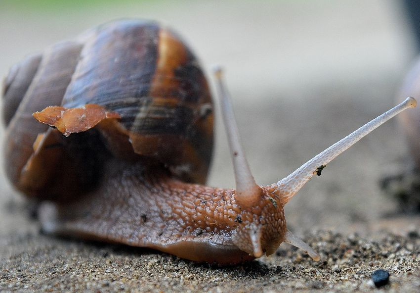 Close-up Nature Day Fragility Animal Themes Beauty In Nature Snail One Animal Outdoors Botany Slug Sand Animals In The Wild Molusk Clam Macro Focus On Foreground Art Is Everywhere Macro Photography Macro World Macro Snail Macro Nature Gastropod Art Nature
