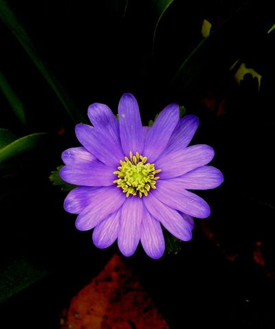 Close Up Nature Purple Flower Purple Flower Close Up Yellow Centered Flowers Yellow Centre Dark Background Flower Nature Petal Beauty In Nature Fragility Blooming Flower Head Plant