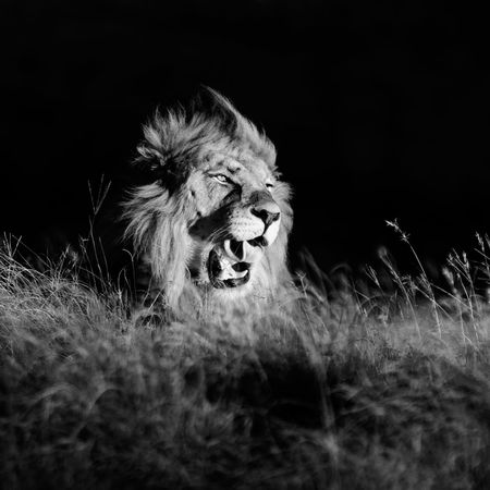 Male Lion yawns after a good afternoon nap Canon Canon 70-200 F2.8 L IS-II Canon 7D MarkII Lion Lone Male Lion, Male Lion Male Lion Portrait Monochrome Monochrome Wildlife Single Lion, Wildlife Wildlife & Nature Wildlife Photography