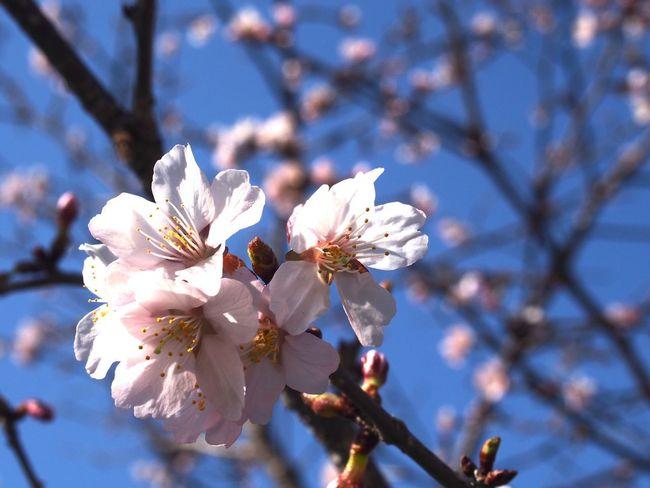 チシマザクラ。 Cherry Blossom Flower Flowerporn EyeEm Flower