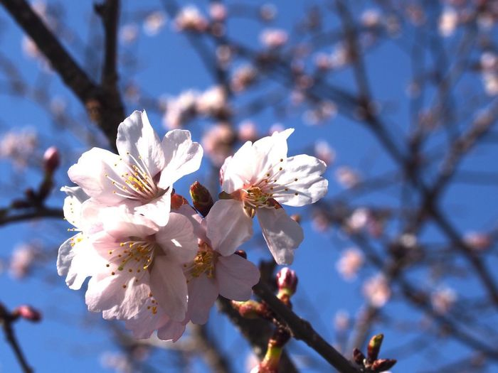 Close-up of cherry blossom
