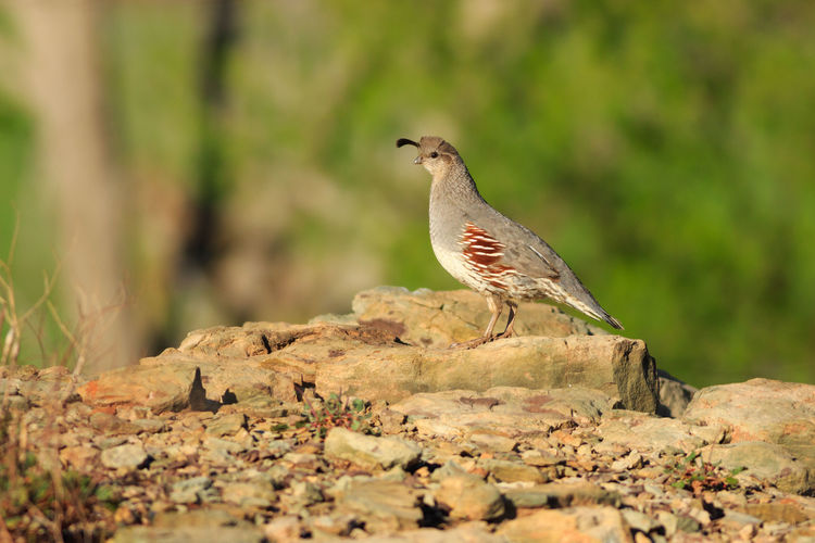 Female Gambels Quail Animals In The Wild Bird Animal Desert Animal Themes Outdoors Nature No People Animal Wildlife Quail Gambel's Quail Gambel Quail Female Animal