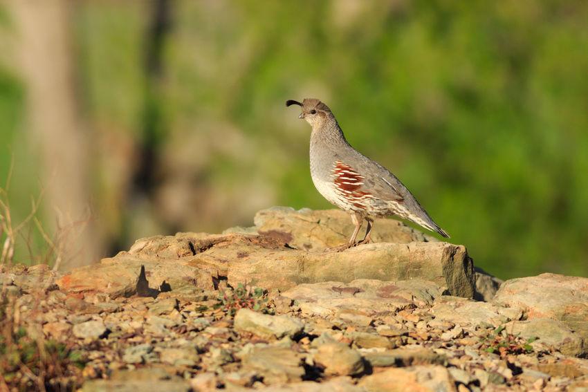 Female Gambels Quail Animals In The Wild Bird Animal Desert Animal Themes Outdoors Nature No People Animal Wildlife Quail Gambel's Quail Gambel Quail Female Animal