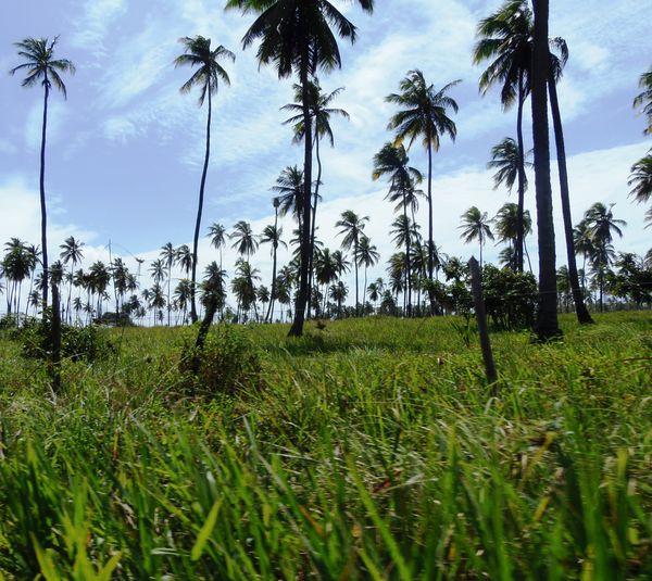 Belas paisagens de Maceió Cocount Maceiobeach Maceió, AL Monkeys
