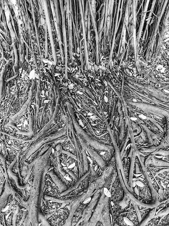 Root Roots Roots Of Tree Banyan Tree Roots Banyan Root Banyan Tree Banyan Root Of Banyan Tree Root Of A Tree Root Of The Tree Root Of Tree Nature Nature Photography Nature Collection Beauty Of Nature Black And White Black And White Photography Black And White Collection