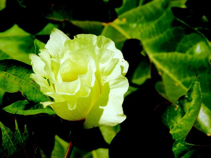 Cotton Flower Flower Flowers Plants Plant Plants And Flowers Plants 🌱 Plant Life Yellow Flower Leaf Leafs Leaf 🍂 Nature Growth Plant Green Color Beauty In Nature Freshness Petal Blooming Drop Close-up Fragility No People Outdoors Flower Head Water Day