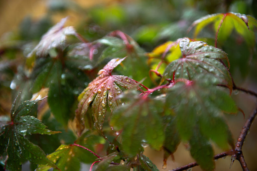Beauty In Nature Close-up Cold Temperature Day Dew Drop Focus On Foreground Freshness Green Color Growth Leaf Leaves Nature No People Outdoors Plant Plant Part Rain RainDrop Rainy Season Selective Focus Water Wet