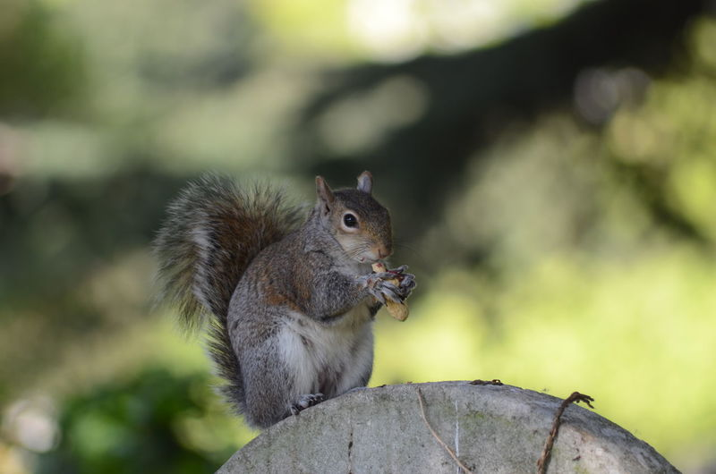 Close-up of squirrel on gravestone