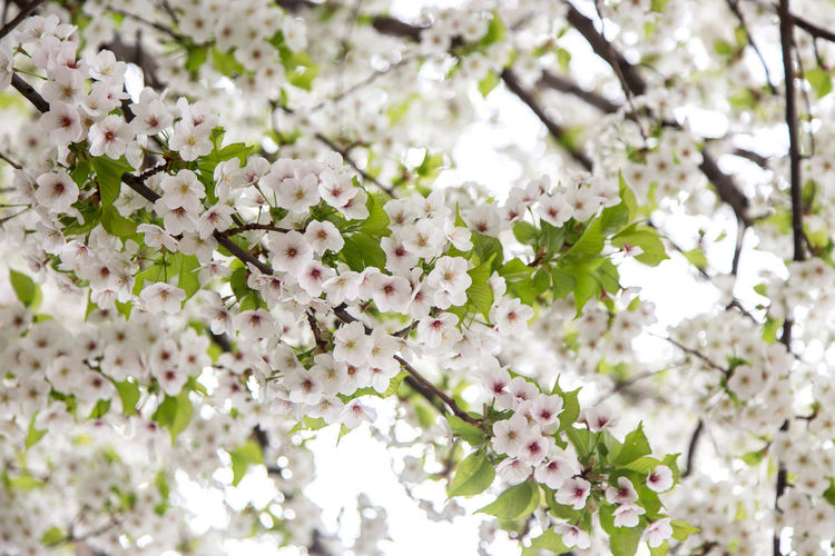 Beautiful Cherry Blossoms in Wopping, UK. Sakura during Spring Time Cherry Blossom Tree Cherry Blossom Cherry Blossoms London Nature Sakura Tree Beauty In Nature Blossom Branch Bunch Of Flowers Cherry Blossom Cherry Tree Cherryblossom Close-up Day Flower Flower Head Flowering Plant Flowers Fragility Freshness Growth Nature No People Outdoors Plant Sakura Blossom Springtime Tree Uk Vulnerability