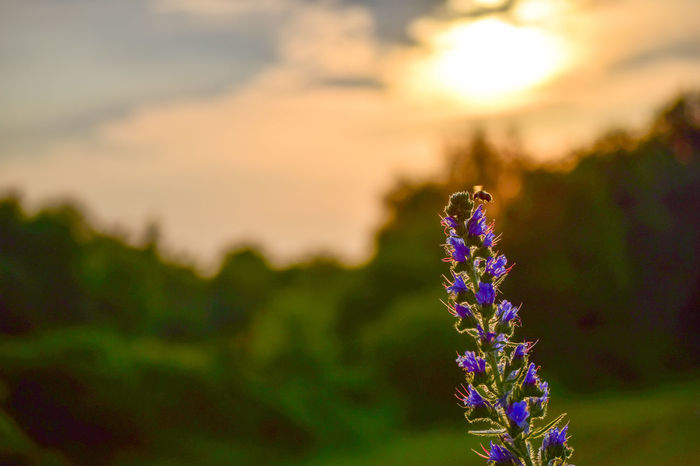Beauty In Nature Beauty In Nature Close-up Dslrphotography Flower Flower Head Focus On Foreground Growth Insect Nature Nature Nikon Nikonphotography Outdoors Plant Purple Sunset
