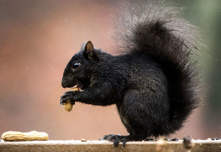 Close-up of black squirrel eating peanuts