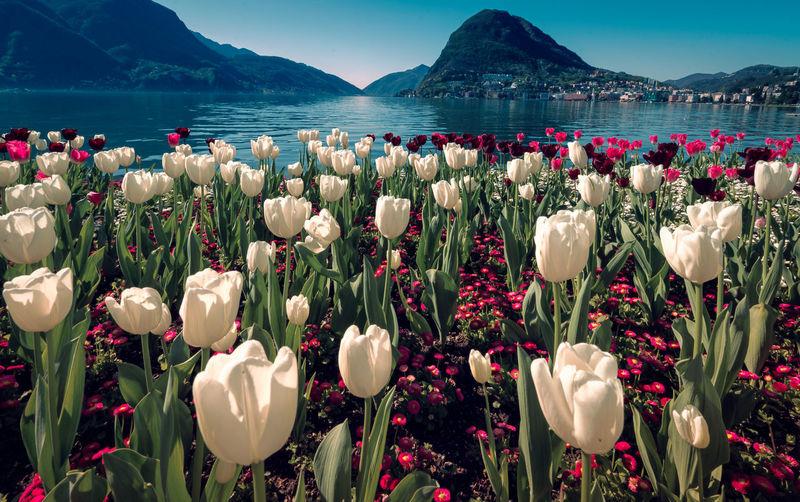 Tulips Beauty