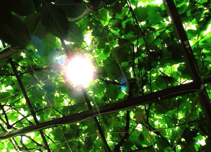 Grape vines Grapes Vines Sunshine Sun Green Natures Photography Nature Roof Beautiful Amazing