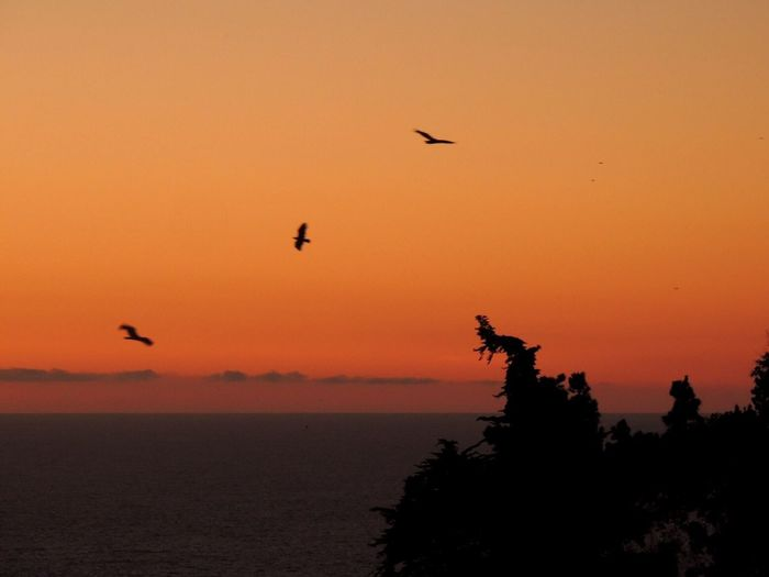 Raptors Silhouette Sunset Orange Sky Raptor Silhouettes Sea And Sky Raptorial Bird Birds Flying At Sunset Beauty In Nature Animals In The Wild Capture The Moment Mid-air Tree Outdoors Reñaca Beach , Chile