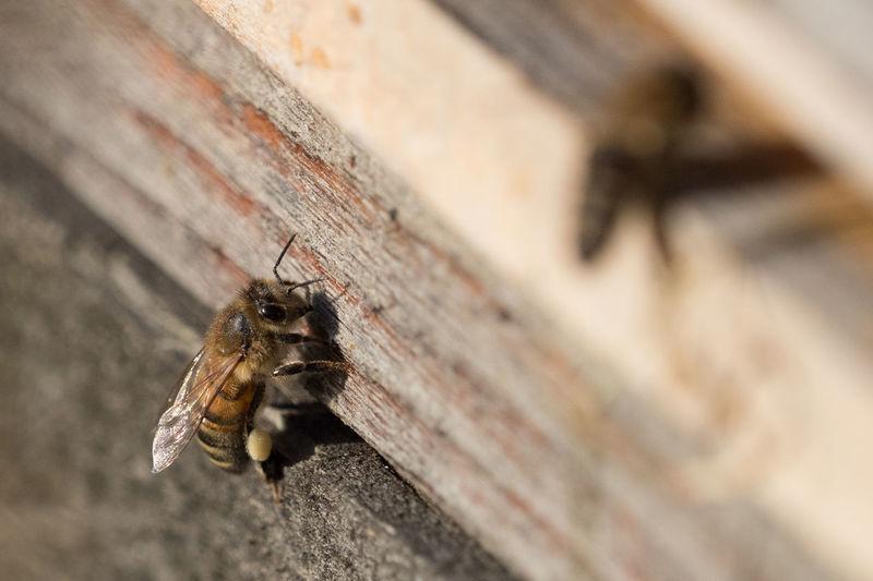 Honigbienen Bee