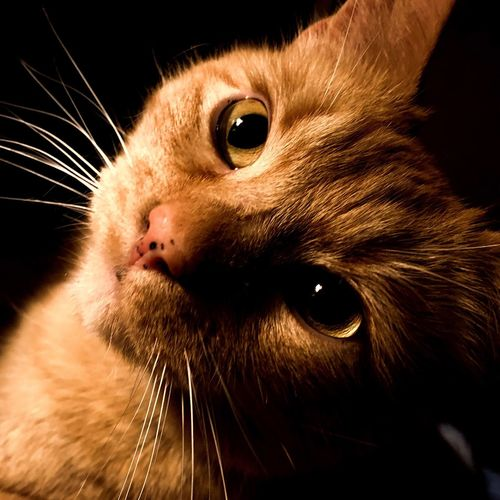 Animal Themes Animal One Animal Mammal Close-up Vertebrate Whisker Animal Body Part Animal Head  No People Cat Pets Feline Looking Domestic Animals Domestic Portrait