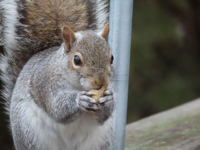 EyeEm selects squirrel closeup with peanut animal photography nature lover outdoors focus on the foreground EyeEm Selects Animal Wildlife One Animal No People