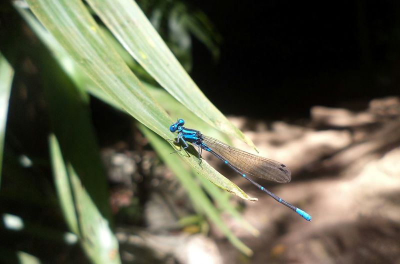 Libelula Azul Insects  Hoja One Animal Insect Animal Themes Damselfly Nature Outdoors No People Day Beauty In Nature Blue Libélulas Blue Macro Libélula Sobre Hoja De Espada The Week On EyeEm Perspectives On Nature This Is Latin America Visual Creativity