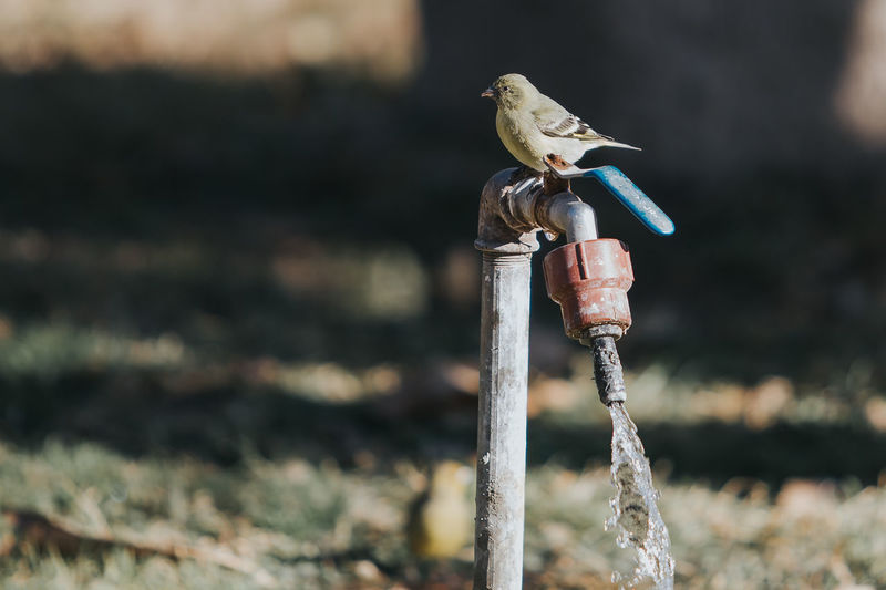 Bird Perching On Tap During Sunny Day