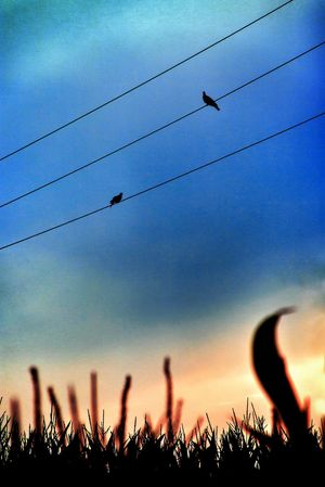 Two Doves in The Evening Sky on Power Lines