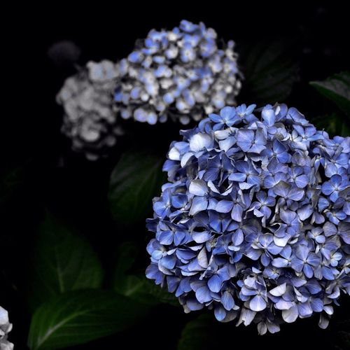 Natural Photoofday Flower Hydrangea Beautiful Nature Natural Photography Garden Photography Country Life Flowers Nature_collection Photooftheday Greenleaf First Eyeem Photo EyeEm Best Shots EyeEm Nature Lover EyeEm Gallery Beauty In Nature From My Point Of View Relaxing Nature_collection