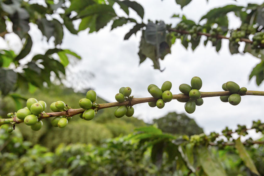 Newly formed green coffee beans on a coffee tree at an organic coffee plantation near Chinchina, Colombia. Andes Caffeine Coffee Colombia Farm Latin Manizales Nature Plant South Travel America Arabica Bean Caldas Chinchina Colombian  Drink Landscape Mountain Organic Plantation Robusta Triangle Tropical