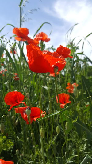 Sunlight While Walking Nature Fragility Focus On Foreground Light And Shadow Close-up Card Design Summer Things Around Me Personal Perspective Art Photgraphy Art Is Everywhere Art Photo Beauty In Nature Growth Plant Poppy In A Field Outdoors On Tour Red Color Poppy Season Poppy Flower Green Color Scenics