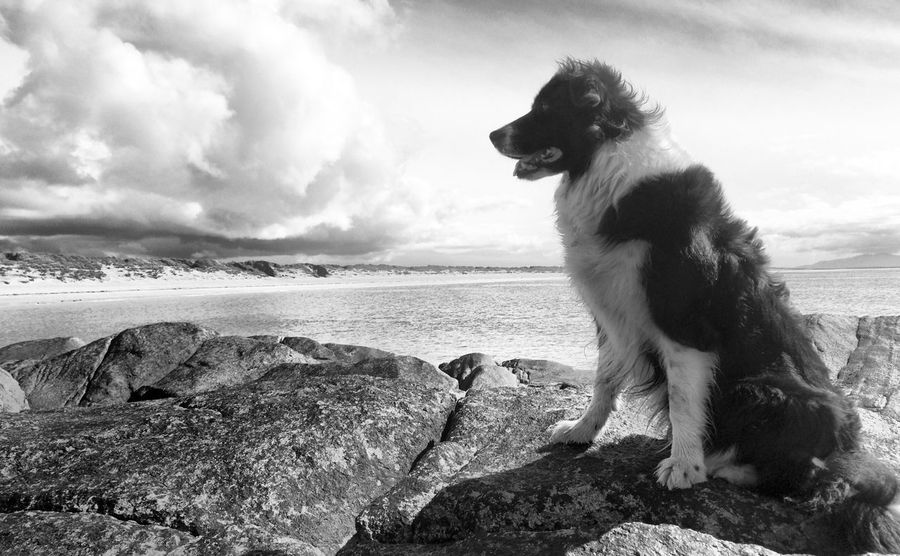 Sheepdog Border Collie Collie Dog Pet Beach Domestic Animals Sea Looking Away Water Sky HDR Outdoors Nature Shore Ocean Cloudy Day Rock Blackandwhite B&w Black And White Dunes Scenic Epic