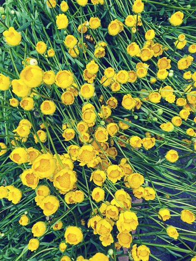High angle view of yellow flowering plants on field