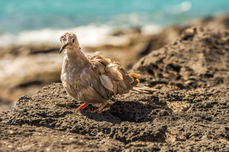 Mourning dove perching on rock at shore