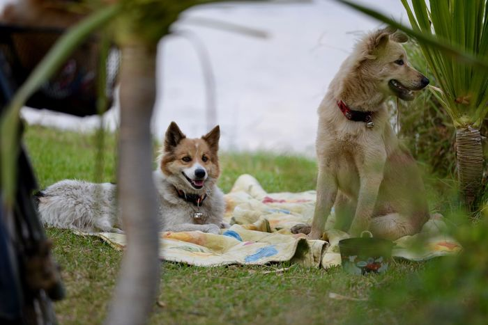 Dogs love picnic too . Nikon D610 + Af-s 300mm f/4d Picnic Picnic Basket Thailand Thailand Photos Thailand🇹🇭 Animal Themes Day Dog Dog Picnic Dogs Love Picnic Domestic Animals Grass Mammal Nature Nikon Af-s 300mm F/4d Nikon D610 Af-s 300mm F4 No People Outdoors Pets Picnic Blanket Picnic Table Picnic Time Picnic Time ♡ Thailand_allshots_nature We Love Picnic