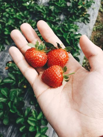 Freshly-picked strawberries EyeEmNewHere WallpaperForMobile Fruit Farmland Food Stories Strawberry Fruit Red One Person Holding Healthy Eating Freshness Food And Drink Food Nature Healthy Lifestyle
