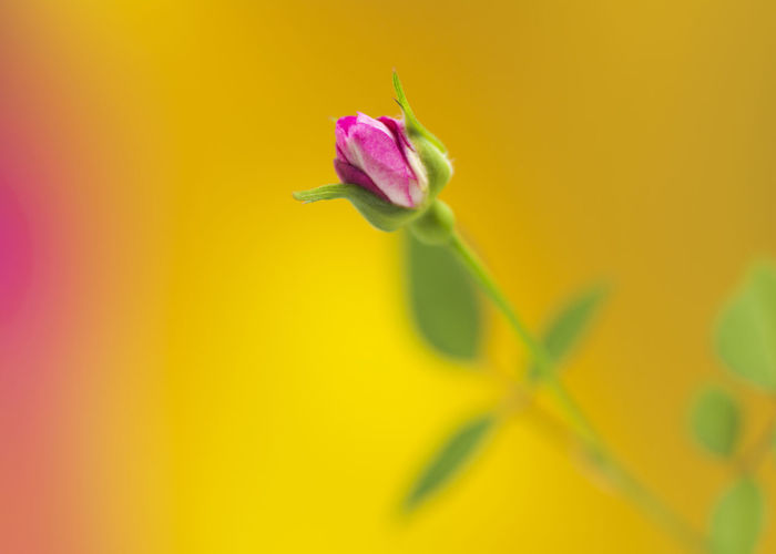 a note of pink Rosé Mood Yellow Background Close-up Flower Head Flower Yellow Petal Pink Color Close-up Plant Sepal In Bloom Botany Blossom Bud Plant Life Focus