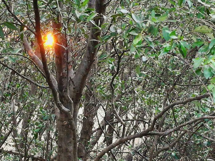 ป่าโกงกาง Sun Tree Sunbeam Low Angle View Nature Beauty In Nature Outdoors Branch Sunlight No People Growth Day Sky