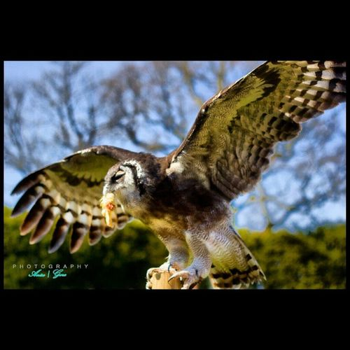 One of Warwick castle's many attractions.... And one of the best experiences of my life. Having these birds of prey swooping down on you..Great Owl Birdsofprey Nature Wildlifephotography Beautiful Animals Canon Focus Instamoments Instanature Chowingdownhisfood