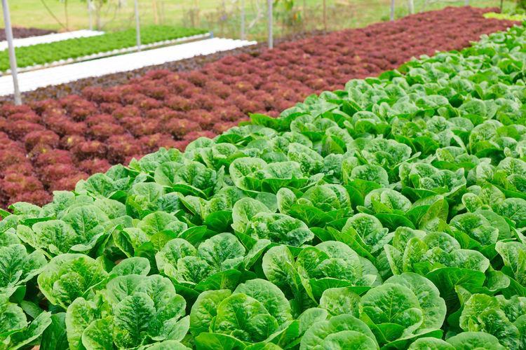View of fresh green vegetables in farm