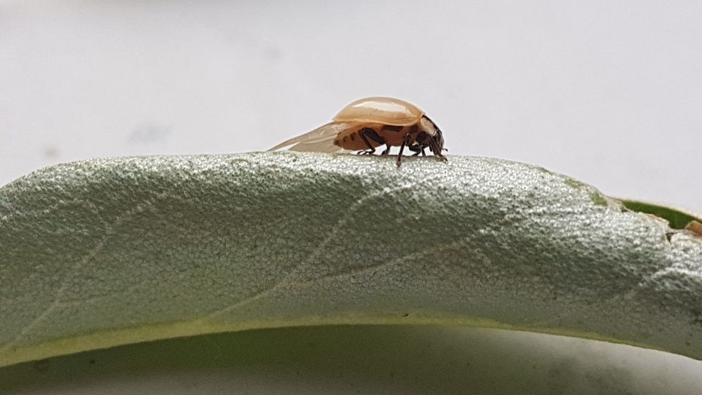 hi!!!!!I new ladybug)))) Enjoying Life Paradiseofminimal Spain♥ Insects Collection Shhhhhhhhh ☝ Macro Beauty Biutiful Zaragoza Macro_collection EyeEm Best Shots Animal Themes Birthday Surprise EyeEmNewHere Close-up Calm Insect Grasshopper Ladybug Bug