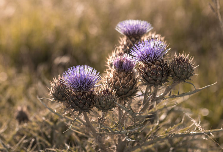 Thistle Flower Thistle Flowering Plant Purple Plant Freshness Nature Close-up Growth Beauty In Nature No People Vulnerability  Fragility Land Inflorescence Outdoors Flower Head Day Focus On Foreground Field Springtime