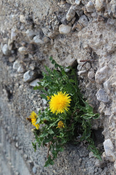 A struggle to live. Concerte Dandelion Flower Grey Nature No People Plant Stone Struggle For Existence Struggle For Life Yellow Young Adult