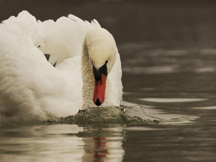 Close-up of mute swan foraging in lake