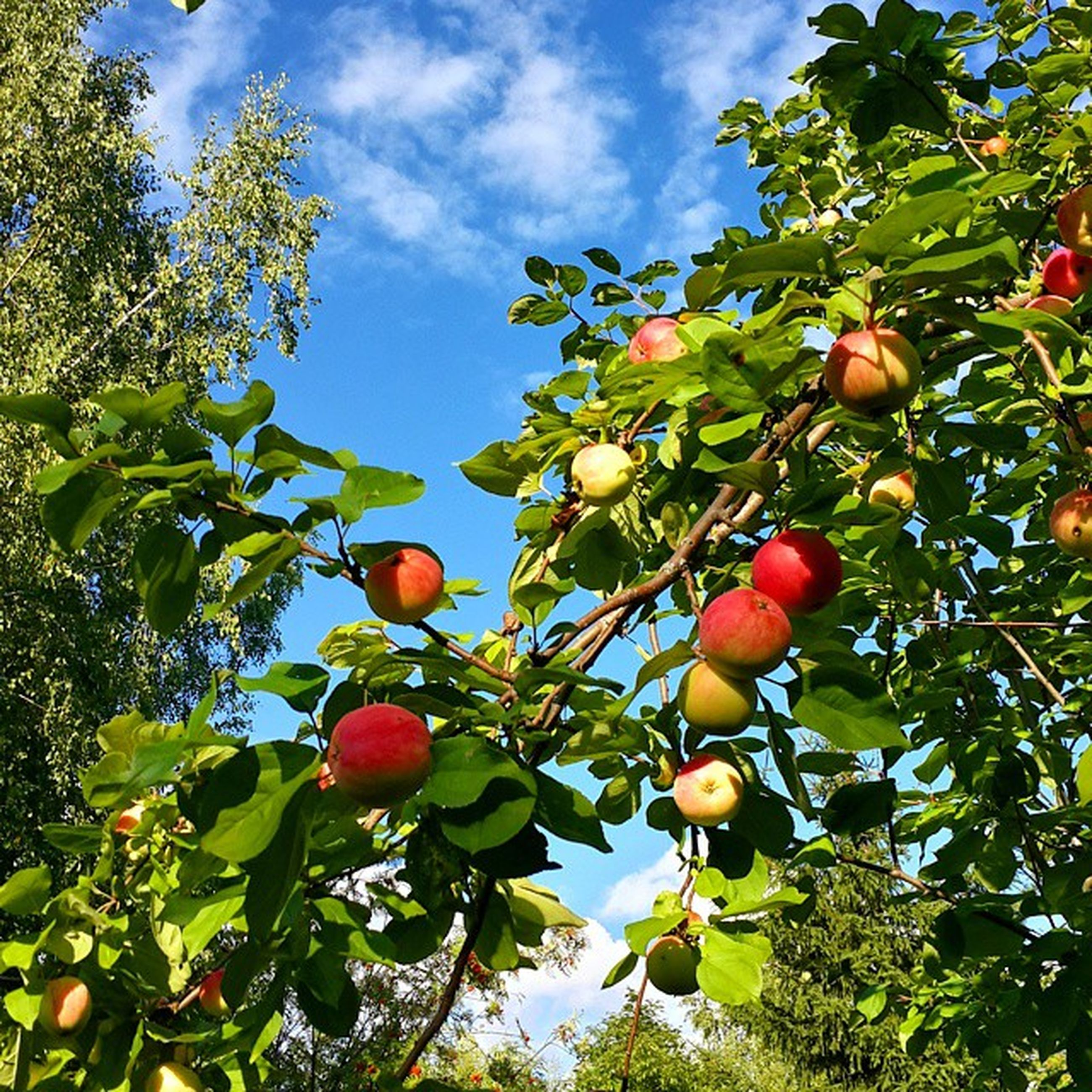 fruit, tree, food and drink, low angle view, food, branch, growth, healthy eating, freshness, leaf, ripe, sky, nature, green color, apple tree, apple - fruit, hanging, day, red, outdoors