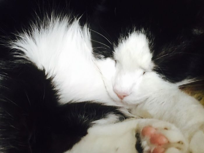 Master Bentley Pets Domestic Cat Close-up Black And White Adore Him Love ♥
