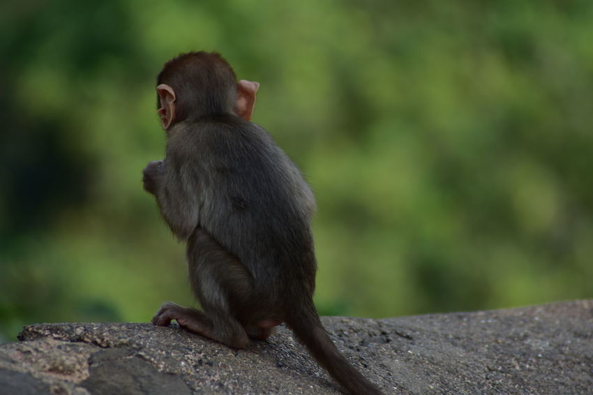 Animals In The Wild Animal Animal Themes India Indian Monkey Monkey Baboon Sitting Ape Full Length Tree Tail Primate Close-up Animal Hair